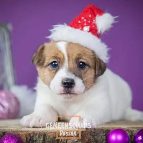 Jack Russell Terrier-puppies